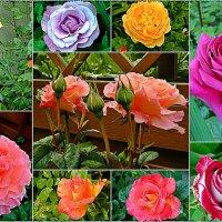 розы нашего двора :: Александр Корчемный