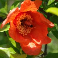 Цветок граната :: İsmail Arda arda