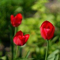 Тюльпаны :: Алексей Ревук