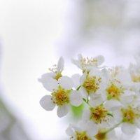 черемуха в цвету :: Светлана Абатурова