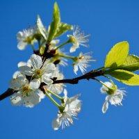 Весны цветенье... :: Константин Жирнов