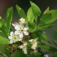 Вишня цветет... :: Игорь