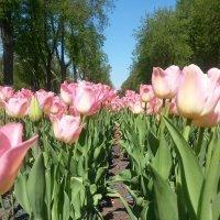 Грядки тюльпанов :: Ирина Крохмаль
