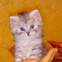 Моя кошка Сима (Какая она была маленькой) :: Алексей Старченко