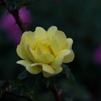Желтая роза :: Владимир Кроливец