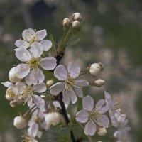 Цветущая вишневая веточка. :: Андрей
