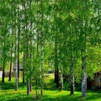 Весна и берёзки :: Юрий