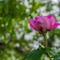 чайная роза :: Анна Губенко