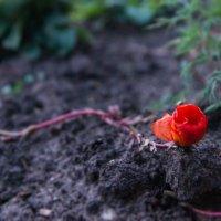 Аленький цветочек :: Альбина Латышева