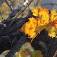 виноградник ... :: Марина Брюховецкая