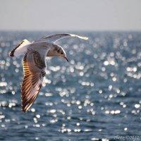 Черноморская чайка :: Виктор Марченко