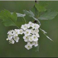 Весенний букетик :: Ирина Таболина