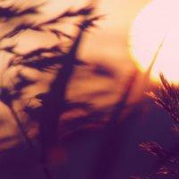 колоски на закате дня :: Наталья Мунцева