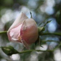 розы весной :: Людмила lyudmila