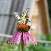 Бабочка и шмель на цветке :: Виктория Чурилова