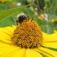 Пчёла,показывающая язык. :: Виктория Чурилова