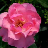 Утренняя роза Джени... :: Anatoley Lunov