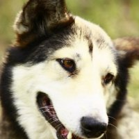 Собака-улыбака :: Александра Голубцова