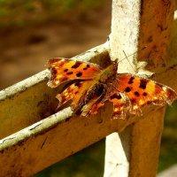 Бабочка :: игорь козельцев