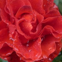 роза :: valentina baban