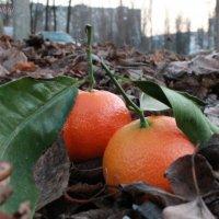 мандаринки в осенней кожуре :: дмитрий гапеев