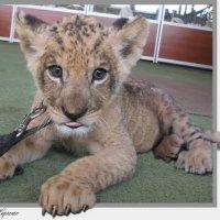 Леопарденок-котенок :: Виктор Марченко