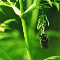 Майский жук :: Сергей Водяницкий
