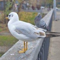ручная чайка :: АНДРЕЙ федорцов