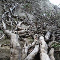 вот такие деревья в горах.. :: Татьяна Гайдукова