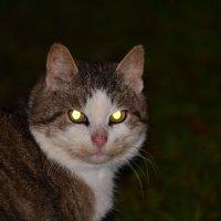 Соседская деревенская кошка :: Вадим T