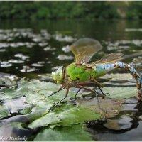 Стрекоза откладывает яйца в воду :: Виктор Марченко