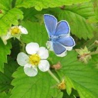 Голубая бабочка :: Виктория Чурилова