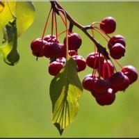 Райские яблочки :: Ирина Таболина