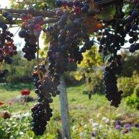 спелые гроздья :: Olga Zinkova