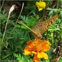 Бабочка :: Виктор Марченко