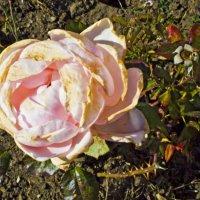 Почти зимняя роза... :: Елена Васильева