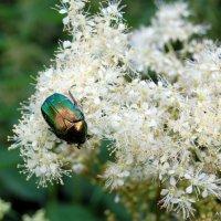 Малахитовый жук... :: Anatoley Lunov
