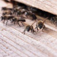 Пчёлы :: Andrej Kazlou