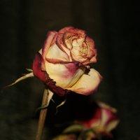 Роза :: Ketti April