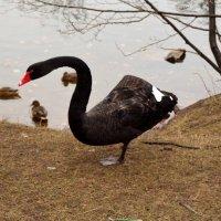 Черный лебедь :: Никита Пелевин