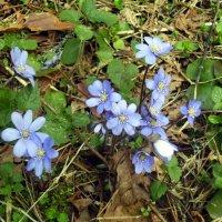 Первые весенние цветы в лесу. :: Валерий Щербаков