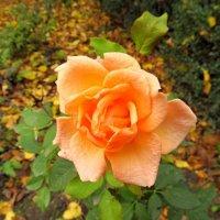 Зимняя Роза :: AV Odessa