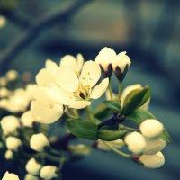 яблоня в цвету :: Татьяна Бурухина