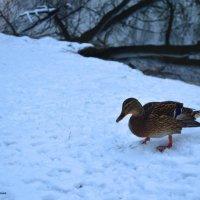 дикие утки иногда не прочь и попозировать...) :: Светлана Давыдова