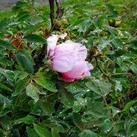 Роза под дождем-2 :: Владимир Бровко