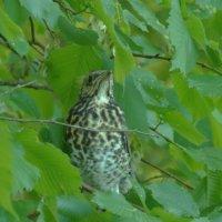 птенец дрозда-рябинника, уже летает :: Михаил Жуковский