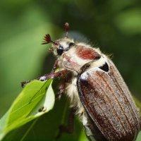 Майский жук :: Андрей Зайцев
