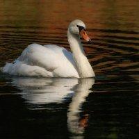 выплывает лебедь белый :: sergej-smv