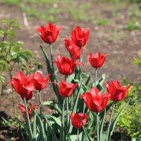 Тюльпаны :: Виталий Житков
