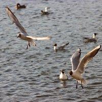 Чайки :: Иван Клещин